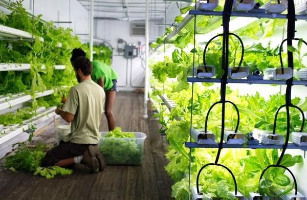 Свой бизнес: выращивание зелени на дому