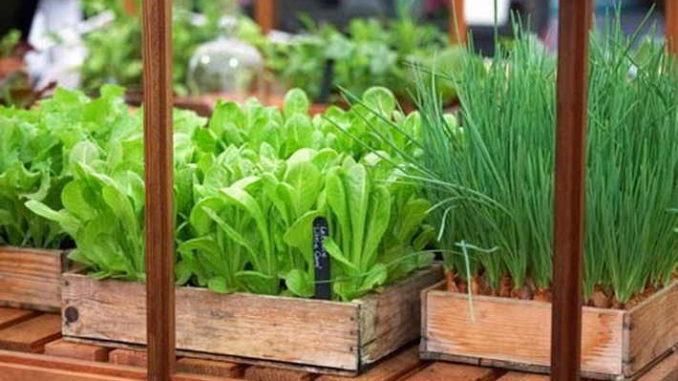 выращивание зелени на дому